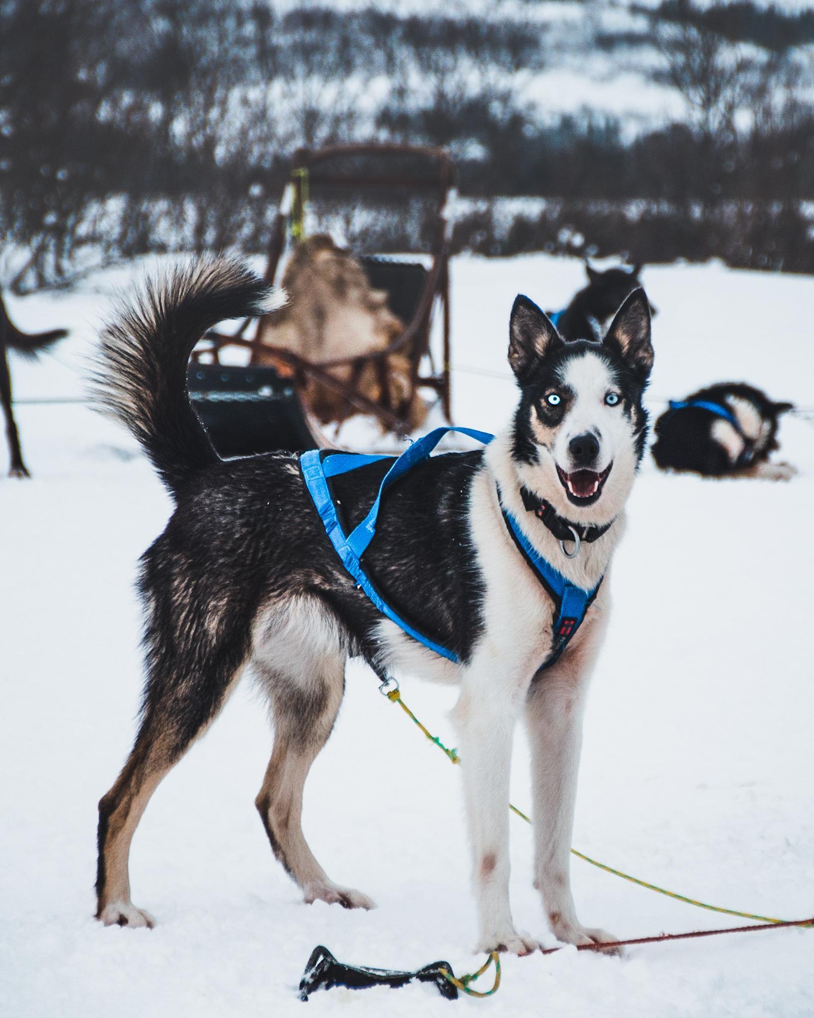 Hvit og svart husky i snøen